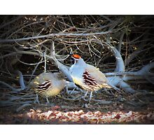 Gambels Quail~ Father w/ Chick Photographic Print