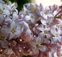 Traces of Lavender in Lilacs by MarianBendeth