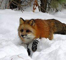 Foxy by Tracy Engle