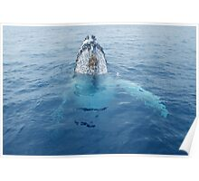 Whale Spyhop looking at humans Poster
