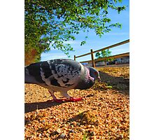 Feathered Friend The Pigeon Photographic Print