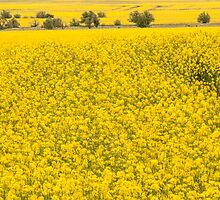 Canola fields in NSW  by Nina  Matthews Photography