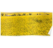 Canola fields in NSW  Poster