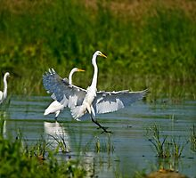 Great Egrets by Heron-Images