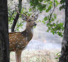 Spotted Deer by Marten Lagendijk