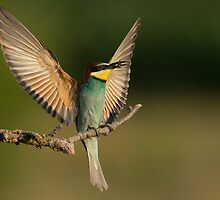 European Bee-Eater with a  Bee by dgwildlife