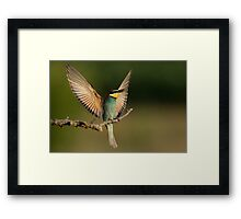 European Bee-Eater with a  Bee Framed Print
