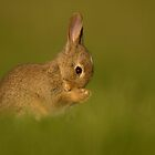European Rabbit by dgwildlife