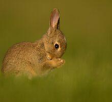 European Rabbit by dgwildlife