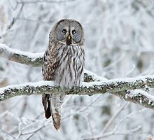 Great Grey Owl Perched by dgwildlife