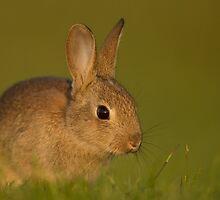 Rabbit by dgwildlife