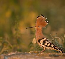 Hoopoe  by dgwildlife