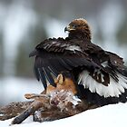 Golden Eagle by dgwildlife
