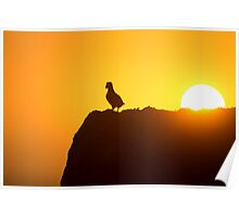Atlantic puffin Enjoys Sunset Poster