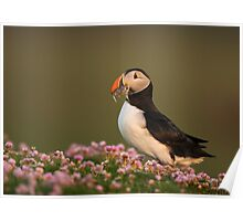 Atlantic Puffin in Thrift Poster