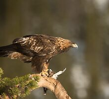 Golden Eagle Feeding by dgwildlife