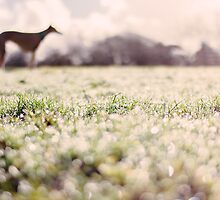 Whippet in field (February) by cornishwhippet