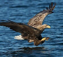 White-tailed Eagle Hunting by dgwildlife