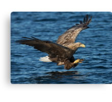 White-tailed Eagle Hunting Canvas Print