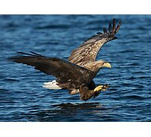 White-tailed Eagle Hunting Photographic Print