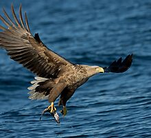 White-tailed Eagle with a Catch  by dgwildlife