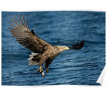 White-tailed Eagle with a Catch  Poster