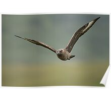 Great Skua in Flight Poster