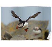 Atlantic Puffin in Flight Poster