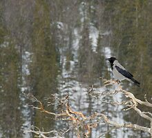 Hooded Crow by dgwildlife