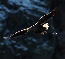 White-tailed Eagle in Flight by dgwildlife