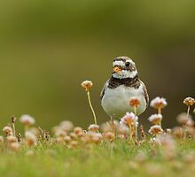 Ringed Plover by dgwildlife