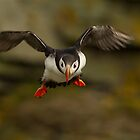 Puffin in Flight by dgwildlife