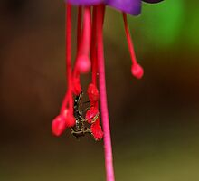 Fuchsia perfect by Mortimer123
