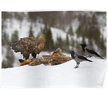 White-tailed Eagle and Crows Poster