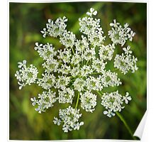 Queen Anne's Lace Close-up 2 Poster
