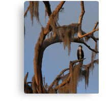 Osprey and Spanish Moss Canvas Print