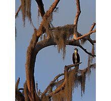 Osprey and Spanish Moss Photographic Print