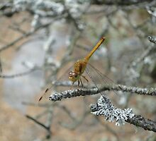 Dragon Fly by SnapitRach