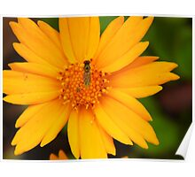 Fly On The Coreopsis Poster
