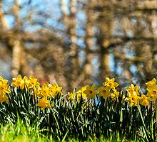 A Bank of Daffodils by Pauline Lewis