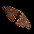 Emperor Gum Moth by Josie Jackson