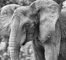 African Elephant by Dana Horne