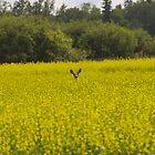 Deer in Canola Field #2 by Mark Iocchelli