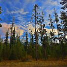 Lodgepole Forest Rebirth In Yellowstone by Brenton Cooper