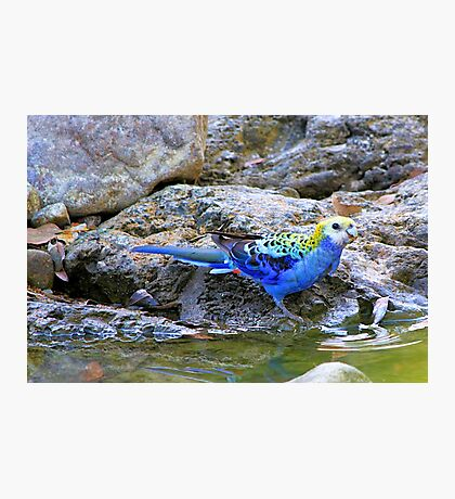 Pale-headed rosella Photographic Print