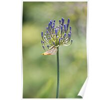 """""""Aggie's Pants"""" - blue agapanthas in NZ  Poster"""