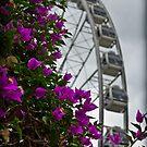 Wheel of Brisbane over Bougainvillea by mewalsh