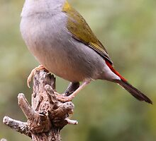 Red browed Firetail by Leoni South