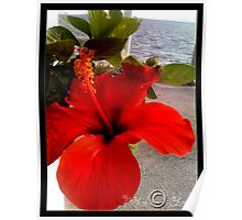 Red hibiscus flower in Tunis lac Poster