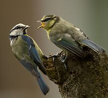 Busy Blue Tit by dgwildlife
